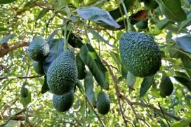 Τροπικά Δέντρα και φυτά - Βοτανικό Πάρκο και Κήποι Κρήτης: Αβοκάντο Χας