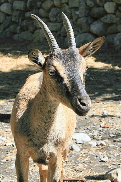 Kri Kri - Capra aegagrus creticus - Crete White Mountains- Lapplaender, Kri-kri 2, CC BY-SA 3.0 DE