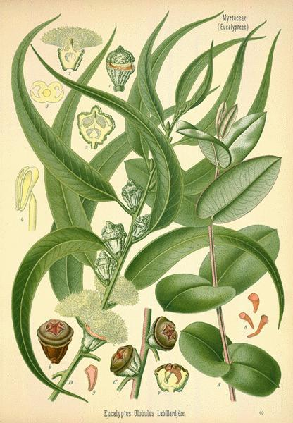 Eucalyptus Oil is excellent for cold and flu symptom relief.