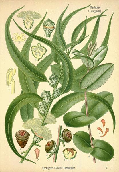 https://i0.wp.com/www.botanical.com/botanical/mgmh/e/eucaly14-l.jpg