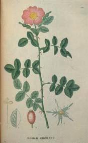 Sweetbriar Rose