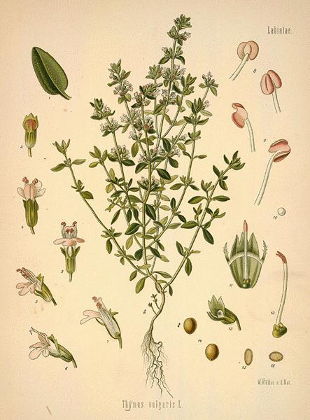 https://i0.wp.com/www.botanical.com/botanical/mgmh/t/thygar16-l.jpg