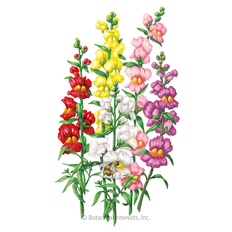 Fall Wallpaper Drawing Tall Maximum Blend Snapdragon Seeds View All Flowers