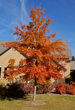 Image result for Shingle Oak tree