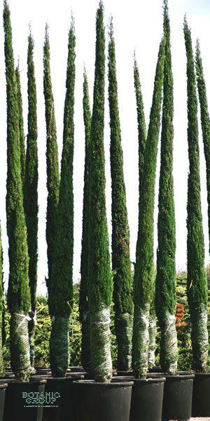 Cupressus sempervirens Pyramidalis  Italienische Zypresse