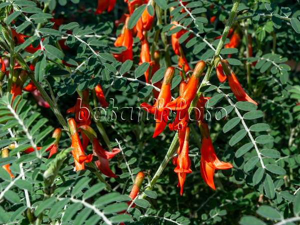 https://i0.wp.com/www.botanikfoto.com/preview/cancer-bush-sutherlandia-frutescens-436076.jpg