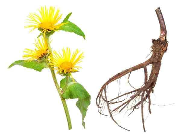 14760539 – medicinal plant. elecampane (inula helenium)