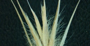 Spikelet seed position-dependent effects on life history - Eremopyrum distans