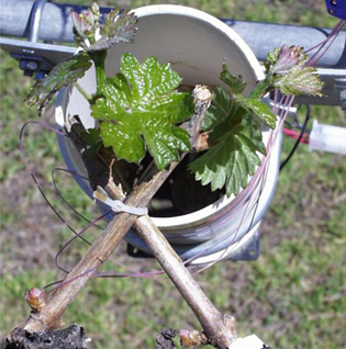 Spring temperatures affect season-long growth in grapevine - Vitis vinifera