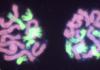 Chromosomes in a hybrid Crocus