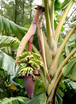 The origin of hybrid edible bananas
