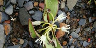 Allium nanodes of subgenus Anguinum from China