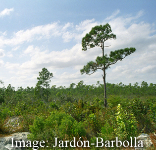 Phylogeography of Caribbean pines