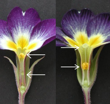 Control of floral heteromorphy in Primula (Review)