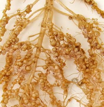 Molecular control of legume nodulation