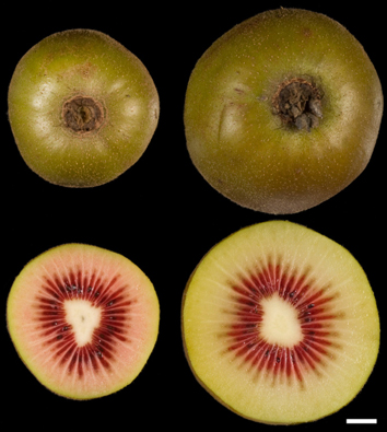 Chromosome number and fruit size in Actinidia
