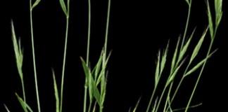 New taxonomy of Brachypodium distachyon