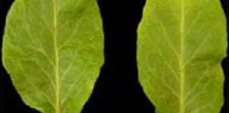 PHAN and compound leaf morphology