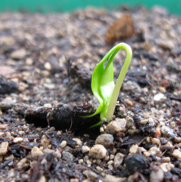 Seed quality at tree species' altitudinal limits
