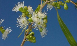 Reproductive barriers to interspecific Corymbia hybridization