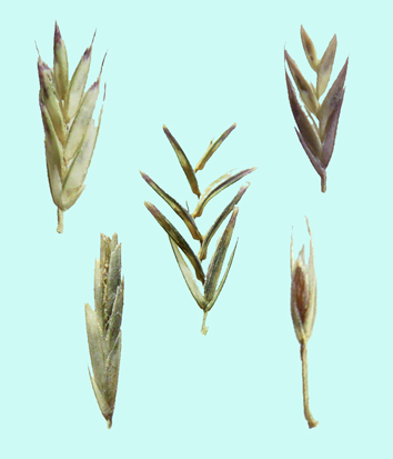 Phylogeny and classification of Leptochloa
