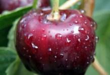 Molecular genetics of cuticle formation in Prunus