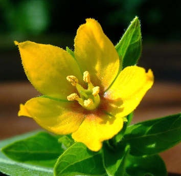 Floral and vegetative cues for pollination in Lysimachia