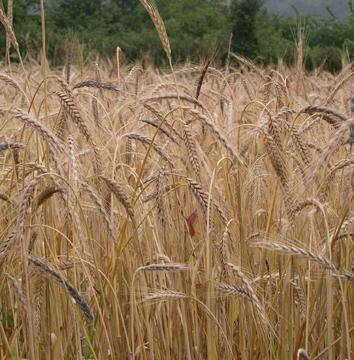 New alleles for Waxy genes in spelt wheat