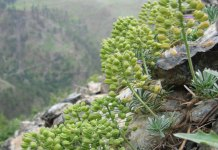 Bornmuellera baldaccii on metal-rich soil