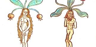 A female and male mandrake
