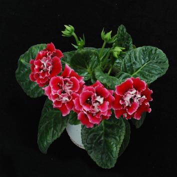 Flowering time control by miR159 in gloxinia