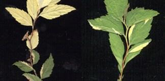 Behaviour of eversporting eudicot chimeras