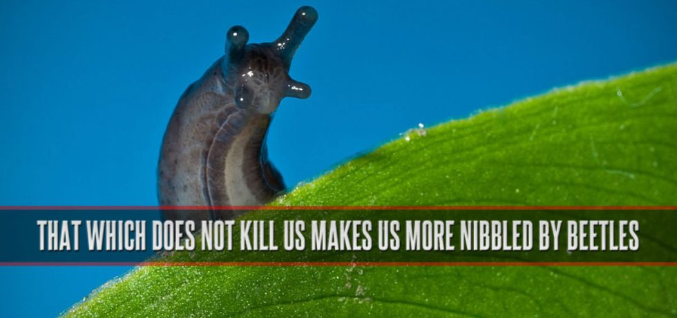 That which does not kill us makes us more nibbled by beetles.