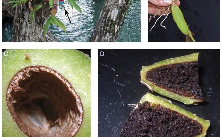 Pseudobulbs from Caularthron bilamellatum