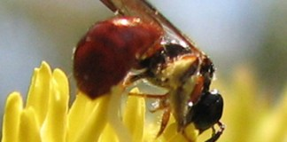 Pollination syndromes in Australian epacrids