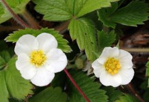 Maternal sex effects and inbreeding depression Fragaria