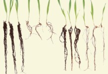 HvAACT1 increases Al3+-tolerance in wheat and barley