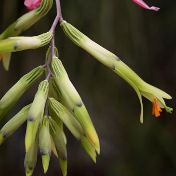 Pollen limitation in hummingbird-pollinated plants
