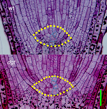Auxin and H2O2 interaction in control of root growth