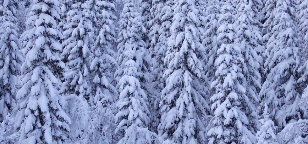 Spruce under snow