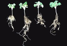 Cluster roots, P and growth rate in Lupinus