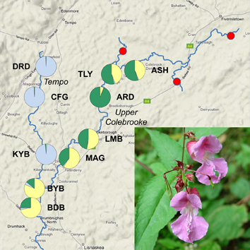 Hydrochoric gene flow in invasive riparian Impatiens