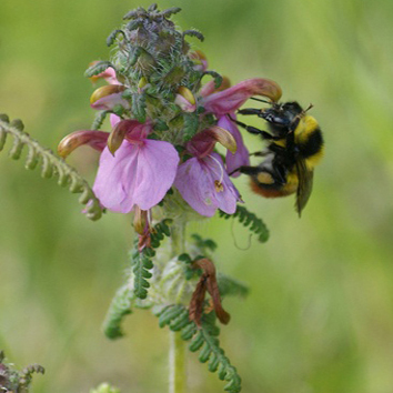 Avoidance of interspecific pollen transfer in Pedicularis