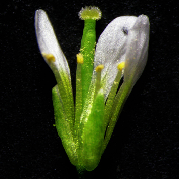 Temperature and reproductive success in arabidopsis