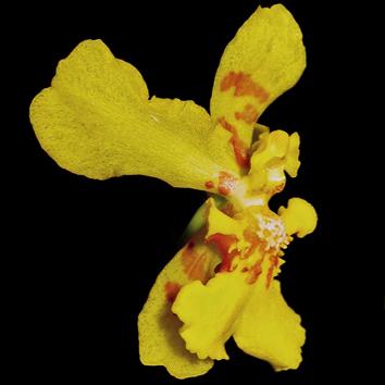 Floral elaiophores of Vitekorchis, Cyrtochilum and Oncidium