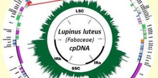 Novel lineage-specific inversion and legume plastome evolution