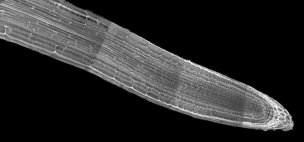 Arabidopsis root