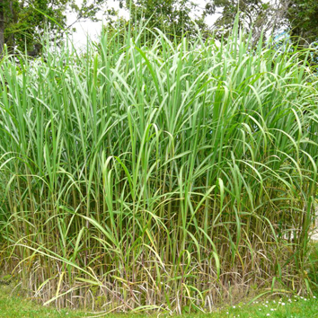 Chilling tolerance of C4 photosynthesis in Miscanthus