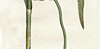 Image: William Woodville, Medical Botany, volume 3. London: James Phillips, 1793.