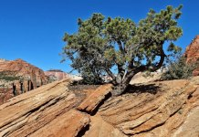 Lone Juniper in a Drought